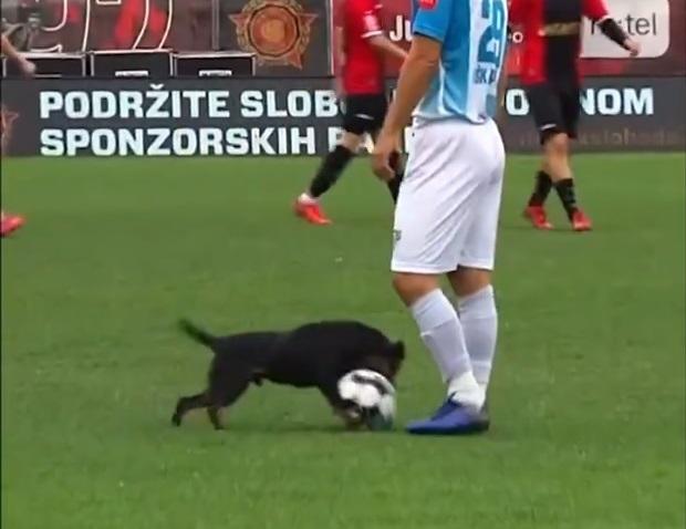 Один из матчей боснийского первенства по футболу собака «поставила на паузу»